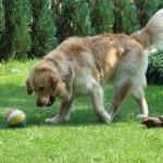 Tedor gra w piłkę